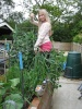 1 July 2012  Four foot two inchs tall ( 1.40 mtr ) garlics just before we cut the flower stems /scrapes for out evening meal
