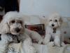 Mi Poodle o Caniche 12-76