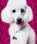 Mi Poodle o Caniche 206-83