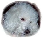 Mi Poodle o Caniche 228-54