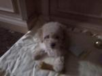 Mi Poodle o Caniche 229-68