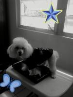 Mi Poodle o Caniche 278-0