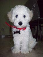 Mi Poodle o Caniche 431-69