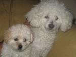 Mi Poodle o Caniche 5-55