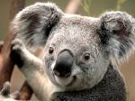 koala_57