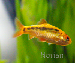 Norian