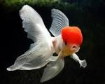 poisson rouge 54l