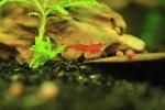 Petite-crevette