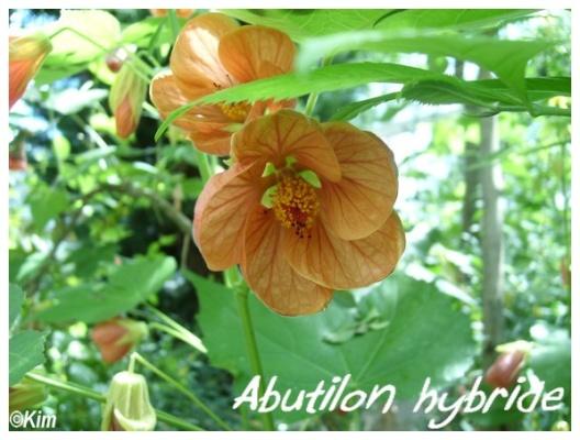 abutilon hybride