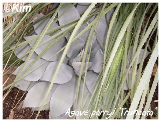 agave parryi 'truncata'