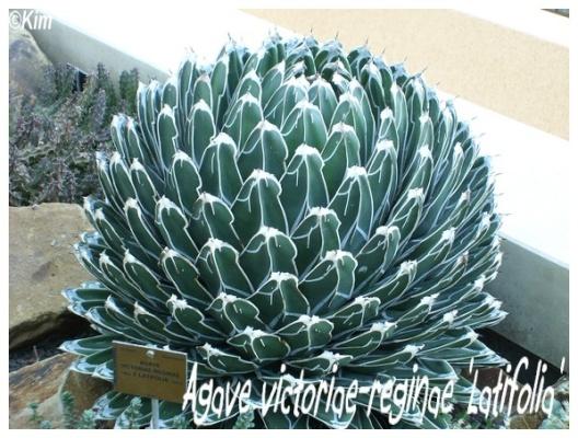 agave victoriae reginae 'latifolia'