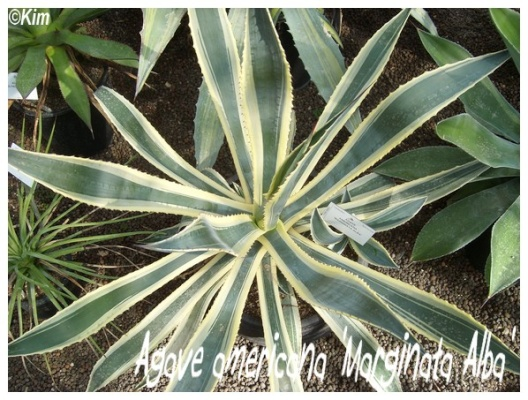 agave americana 'marginata alba'