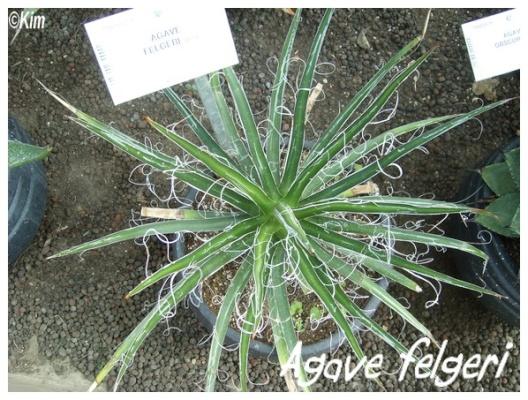 agave felgeri
