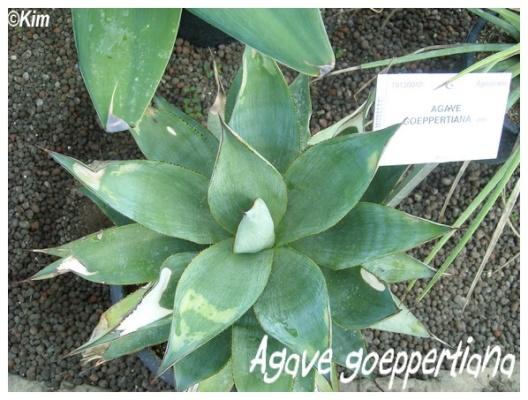 agave goeppertiana