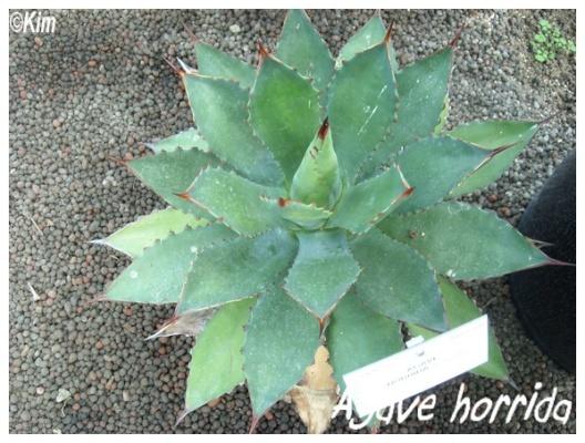 agave horrida