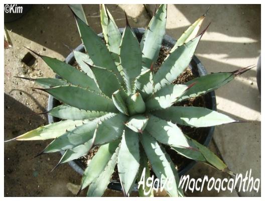agave macroacantha