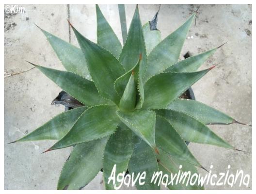 agave maximowicziana