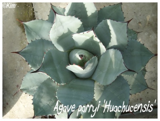 agave parryi 'huachucensis'
