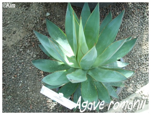 agave romanii