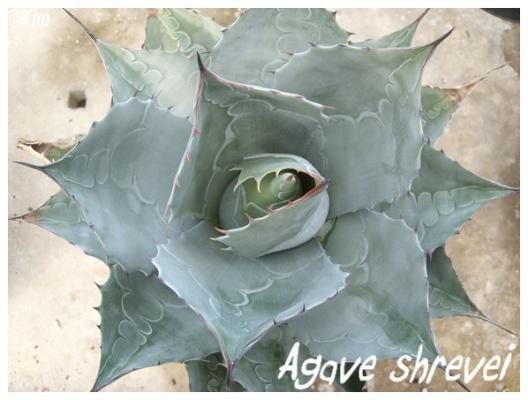 agave shrevei
