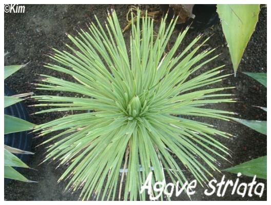 agave striata