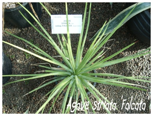 agave striata 'falcata'