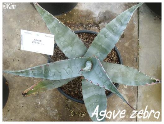 agave zebra
