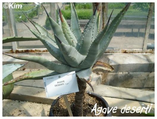 agave deserti