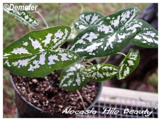 alocasia 'hilo beauty'