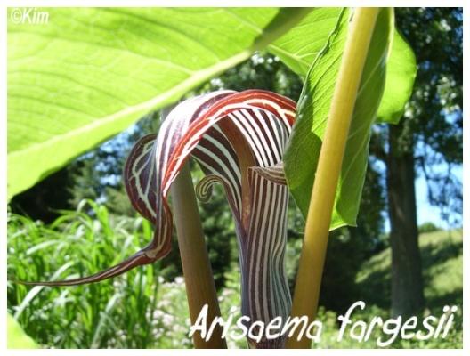 arisaema fargesii