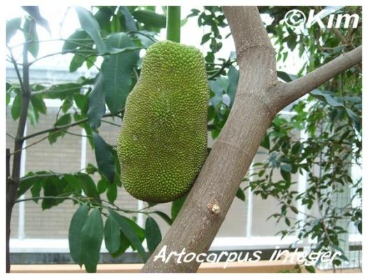 artocarpus integer