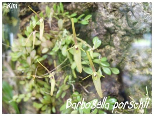 barbosella porschii