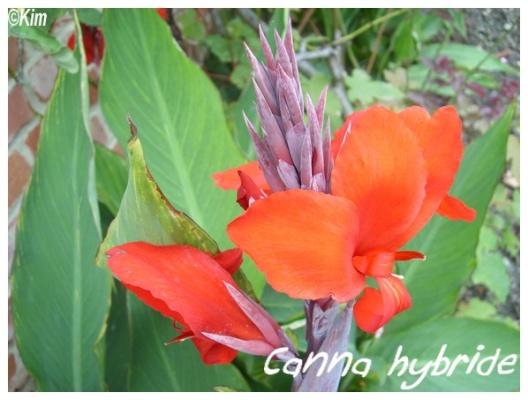 canna hybride