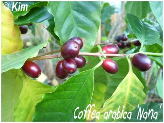 coffea arabica 'nana'