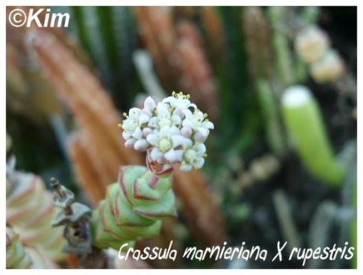 crassula marnieriana x rupestris
