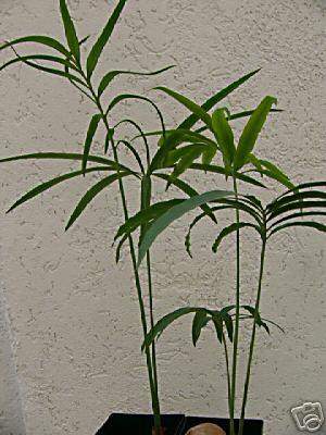 cycas tansachana
