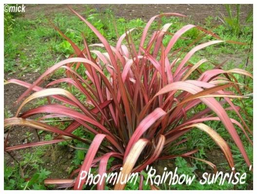phormium 'Rainbow Sunrise'