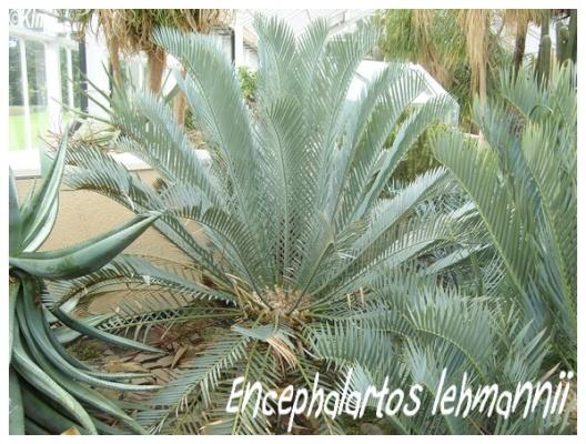 encephalartos lehmannii