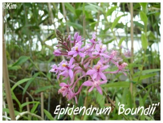 epidendrum 'boundii'