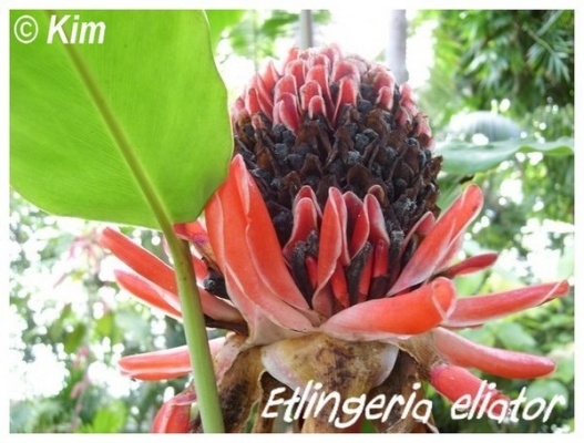 etlingeria eliator