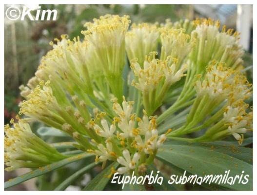 euphorbia submammilaris