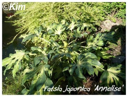 fatsia japonica 'annelise'
