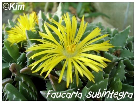 faucaria subintegra