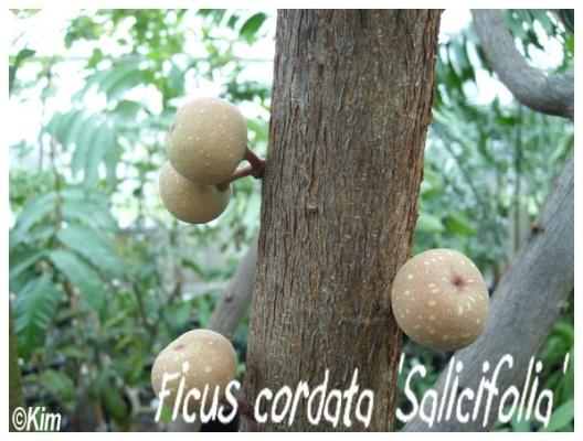 ficus cordata 'salicifolia'