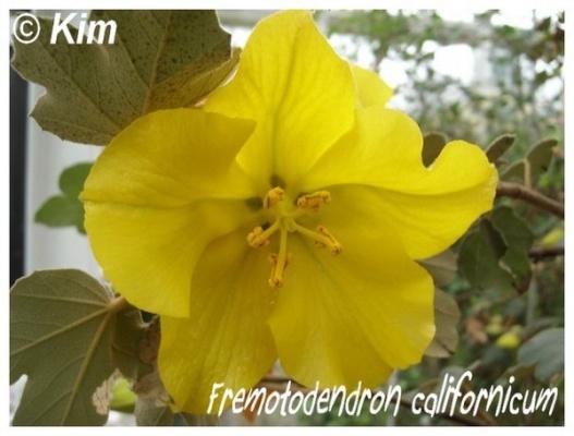 fremotodendron californicum