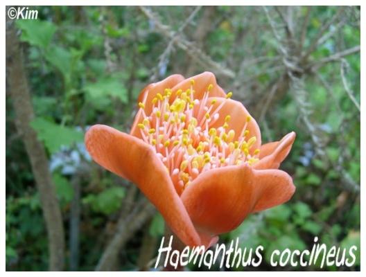 haemanthus coccineus