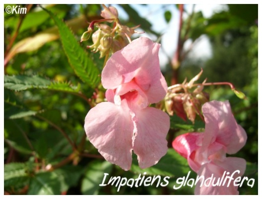 impatiens glandulifera