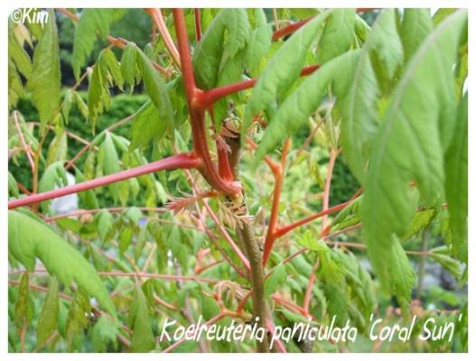koelreuteria paniculata 'coral sun'