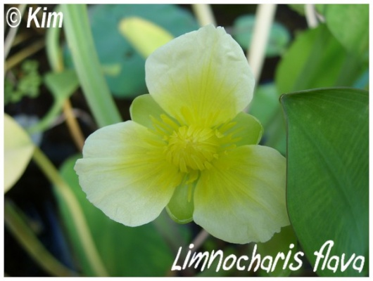limnocharis flava