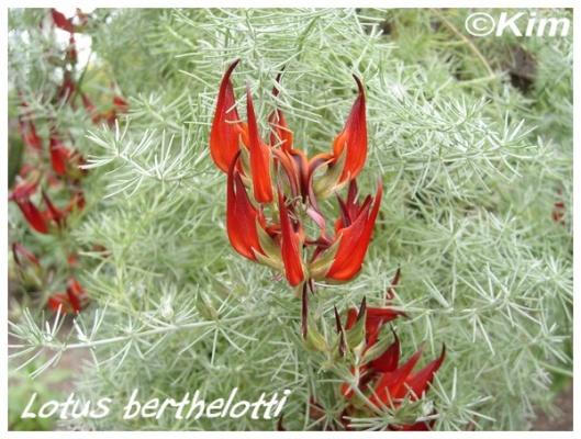 lotus berthelotti